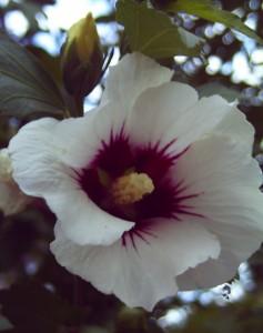 weißer Hibiskus, Foto: Margarete Rosen