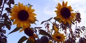 Sonnenblumen, Foto Margarete Rosen