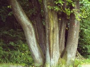 sechs Eichen Foto: Margarete Rosen