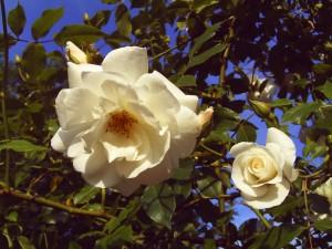 Weiße Rosen, Foto: Margarete Rosen